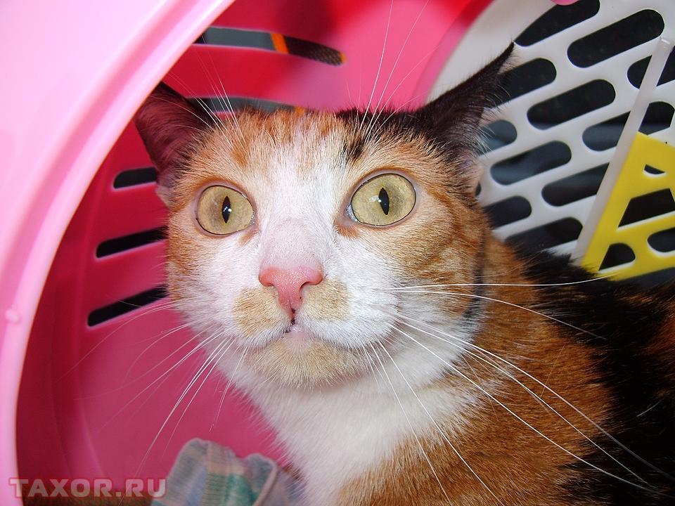 Эта кошка терпеть не может поездок в автомобиле
