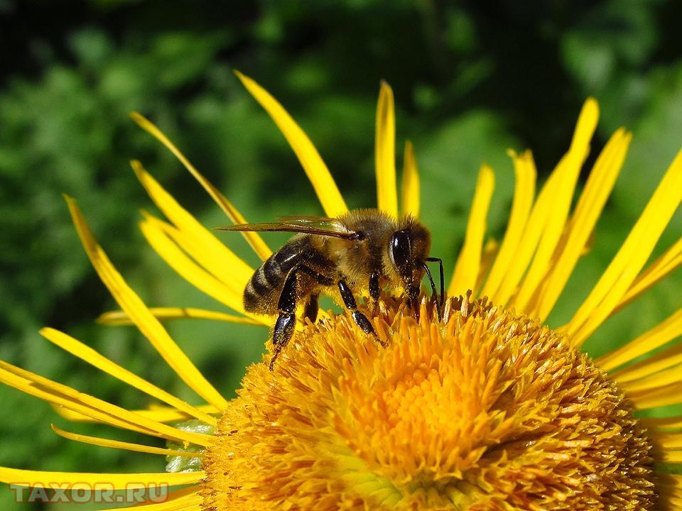 Сидящая на цветке оса