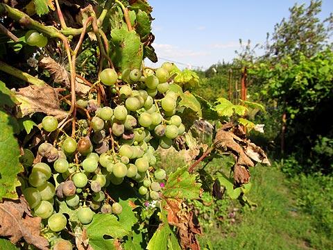 Виноградные кущи