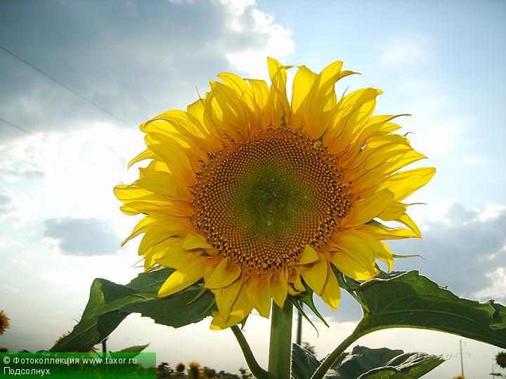 Галерея: Флора — Подсолнух