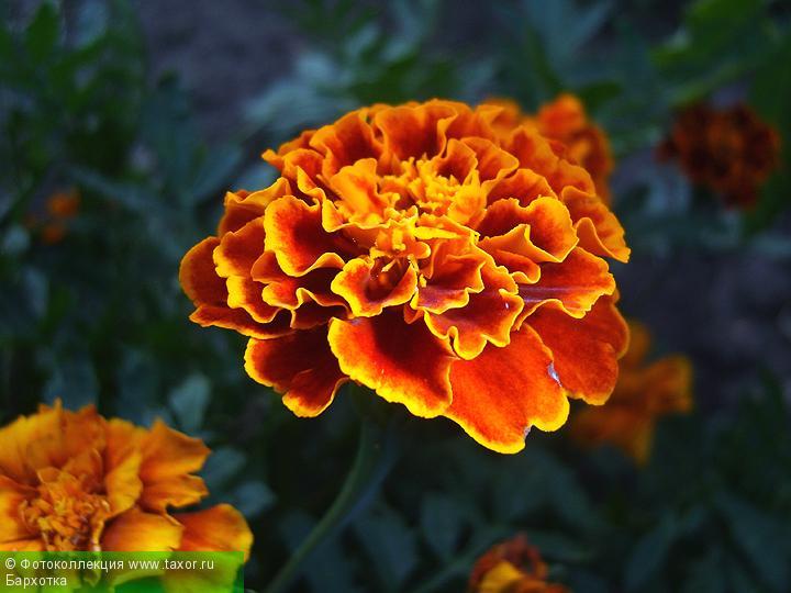 Галерея: Флора — Бархотка