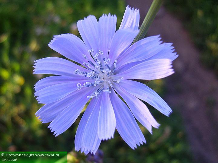 Галерея: Флора — Цикорий