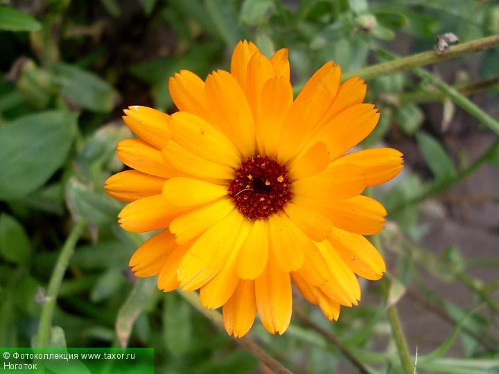 Галерея: Флора — Ноготок
