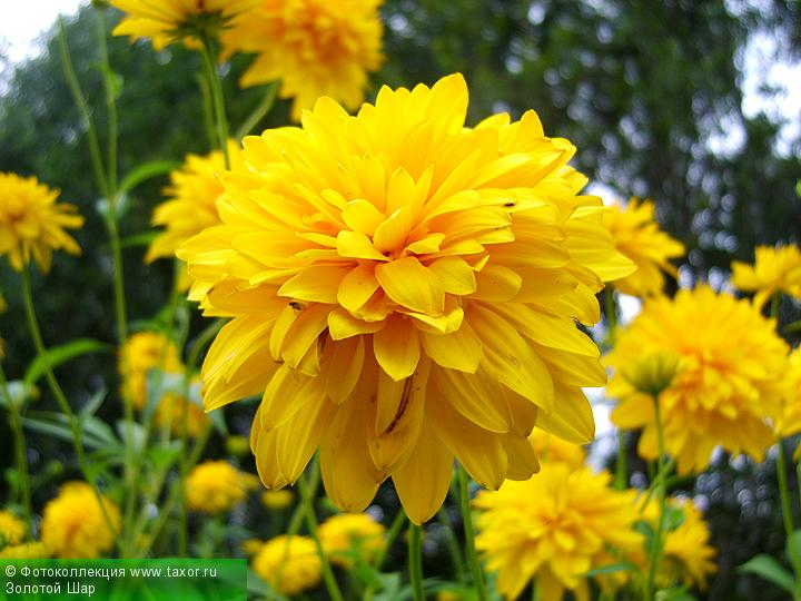 Галерея: Флора — Золотой Шар