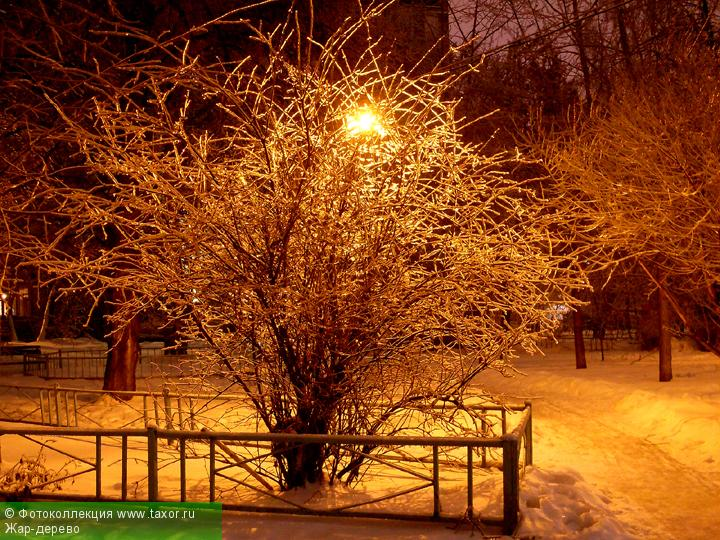 Галерея: Ракурс — Жар-дерево